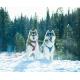 Катание на собачьей упряжке, ездовые собаки, езда на Хаски, Маламуты