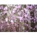 Цветение маральника